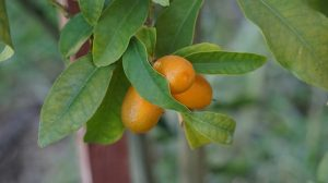 kumquat Benifits