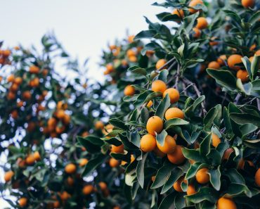 Kumquat Guide